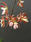 Encyclia Jungle Profusion 1 In Spike Orchid Plant