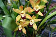 Cymbidium Ming Emperor, Orchid Plant, Shipped In Pot, In Spike