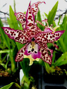 Bllra Memoria Donald Yamada, Orchid Plant In Spike