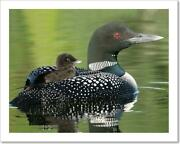Common Loon Chick On Art Print / Canvas Print. Poster, Wall Art, Home Decor - N
