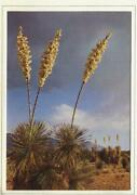 Vintage Christmas Yucca Trees Candles Of The Lord Photograph Cactus Desert Card