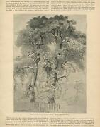 Antique Magnificent Old Oak Trees Nature Woods Botanical Country Old Art Print