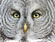 Great Gray Owl Glossy Poster Picture Photo Print Spectral Lapland Spruce 4729