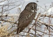 Great Gray Owl Glossy Poster Picture Photo Print Spectral Lapland Spruce 4731