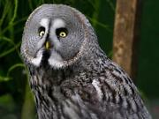 Great Gray Owl Glossy Poster Picture Photo Print Spectral Lapland Spruce 4735