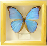 Real Bolivian Metallic Blue Butterfly Morpho Menelaus Framed And Beautiful
