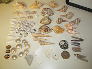 Great Vintage Lot Of Sea Shells Coral Urchins Whelks Cypraea Cowries Conch