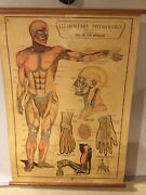 Vintage Medical Elementary Physiology Poster Arnold 2 1930s Anatomical Chart Dr