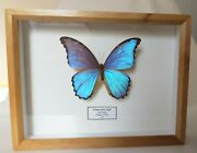 Real Metallic Blue Butterfly Morpho Didius From Peru Framed In Wooden Display