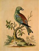George Edwards Original Hand Colored Bird Etching Plate 109 London, 1746