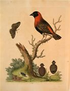 George Edwards Original Hand Colored Bird Etching Plate 178 London 1751