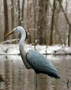 Flambeau Outdoors 5960cd Great Blue Heron Specialty Decoy