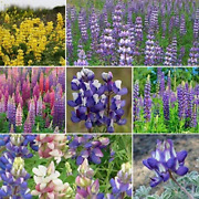 Non Gmo Bulk Lupine Mix Flower Seed 7 Species Of Wildflower Seeds 1 Lb