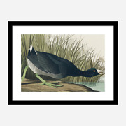 Audubon Birds Of America 18x24 Framed Print American Coot With Free Shipping