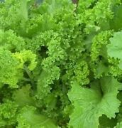 Mustard Greens, Southern Giant Curled, 500 Seeds, Non-gmo, Heirloom