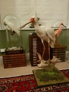 Taxidermy African Spoonbill Large White Bird Interior Design Feature