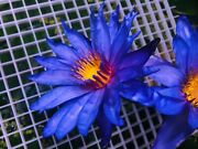 Live Blue Water Lily Rooted Sprout Nymphaeaceae