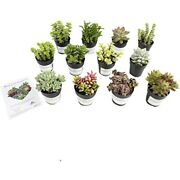 Altman Plants Live Succulent Fairy Garden Kit 12 Pack Assorted 2.5 Potted In