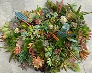 10 Succulent Cuttings - All Different Varieties - Quick Ship From Ca
