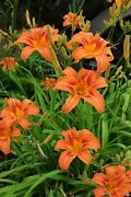 Large Orange Daylily Plants Live Bulbs Clumps 2+ Years Roots Not Cut