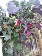 12purple Tree Collard Twelvefresh Cuttings6 To 7inches For 13 Plus S/h