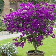 Well Rooted Violet Bougainvillea Starter/plug Plant