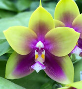 Novelty Phal Phalaenopsis Ld Bear Queen X Mituo King Bellina And03931and039-fragrant
