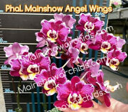 Novelty Phalaenopsis Mainshow Angel Wings-mainshow Orchids Presale