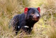 Cute Tasmanian Devil Glossy Poster Picture Photo Taz Scream Baby Yell Loud 1814