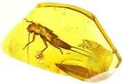 Baltic Amber Fossil Insect Rare Stonefly Plecoptera Perlodidae Exuvio Co51