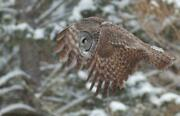 Great Gray Owl Glossy Poster Picture Photo Print Spectral Lapland Spruce 4734