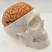 Life Size Human Skull 3 Parts With Brain Numbered Model For Medical Study