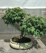 Bonsai Acer Palmatum Kashima 29 Years Old With Pot Included - With Own Seeds