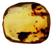 Genuine Fossil Amber Specimen W/ Multiple Insect Inclusions A-grade 29mm X 27mm