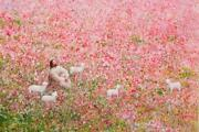 Yongsung Kim Shepherd's Rest Canvas Jesus Smiling Field Of Pink Flowers And Lambs