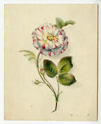 Antique Drawing-rose Species-anonymous-19th.c.