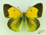 Clouded Yellow Butterfly Colias Croceus Set X1 Female Scarce Aberration J02