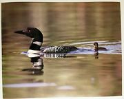 Loon Poster Black White And Baby On Water Print Vintage Wall Art 1984 Lithograph