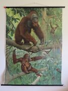 Very Rare Vintage Pull Down Educational School Chart Of Orangutans Lithograph