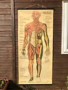 Vintage Full Body Muscles Educational Medical School Chart Anatomy Musculature.
