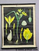 Antique Botanic Rollable Wall Chart Lithograph Natural History Flora Gold Star