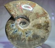 Eccentric Wide Body Cleoniceras Ammonite Exposed Living Chamber Madagascar 7