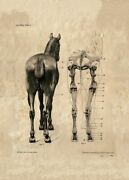 224582 The Horse A Rear View Antique Horse Anatomy Glossy Poster Fr