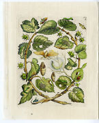 2 Antique Prints-insects-mulberrry-moerbei-leaf-silk-pl.i-merian-1730