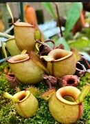 Nepenthes Ampullaria Albino ✨ Tropical Pitcher Plant ✨ Fresh Seeds 🌱
