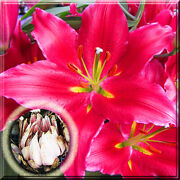 15 Lily Bulbs - Oriental Bacardi Lily Live Plant Large Bulb Bloom In Summer