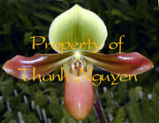 Rarer Offer Paph Orchid Species Mastersianum Blooming Size Plant