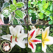 9 Euonymus Fortunei F. Emerald Gaiety Plant + 8 Oriental Lily Bulbs