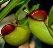 Nepenthes Ampullaria 🔥'hot Lips'💋 Exotic Tropical Pitcher Plant 🌱 Fresh Seeds