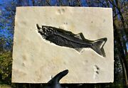 Mioplosus Fish Fossil Aspiration Green River 16 Plate Fish Eating Another Fish